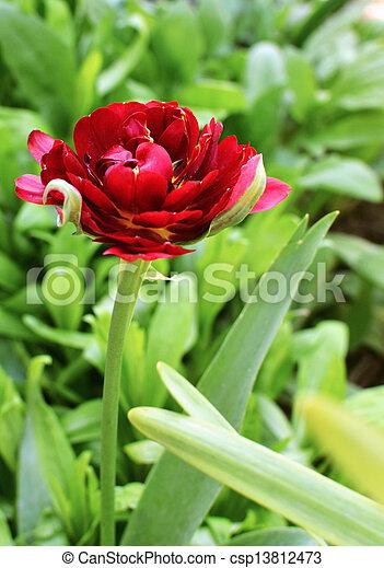 весна, тюльпан - csp13812473