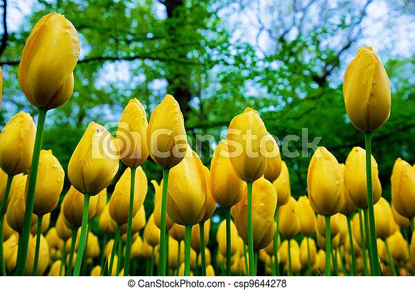 весна, цветы, свежий, желтый, тюльпан - csp9644278