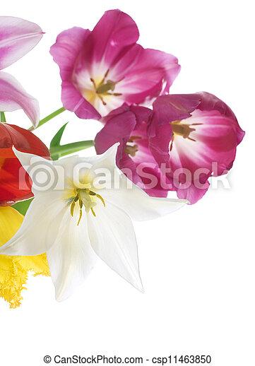 весна, цветы, тюльпан - csp11463850