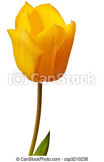 весна, яркий, желтый, тюльпан - csp3210238