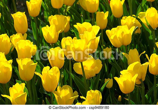 весна, яркий, blossoms, красочный, тюльпан - csp9489180
