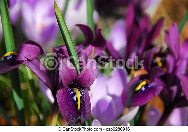 весна, irises - csp0280916