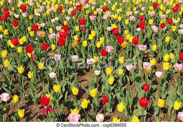 весна, tulips - csp6394005