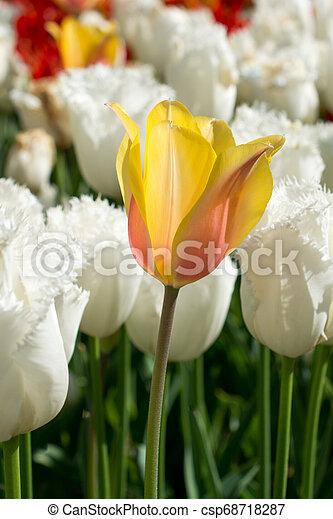 желтый, природа, весна, тюльпан - csp68718287