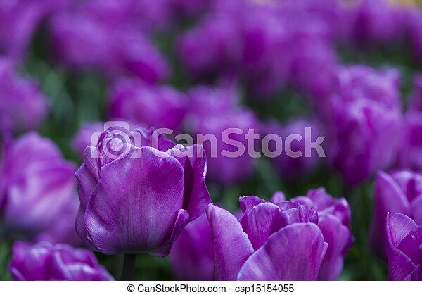 красивая, весна, тюльпан - csp15154055