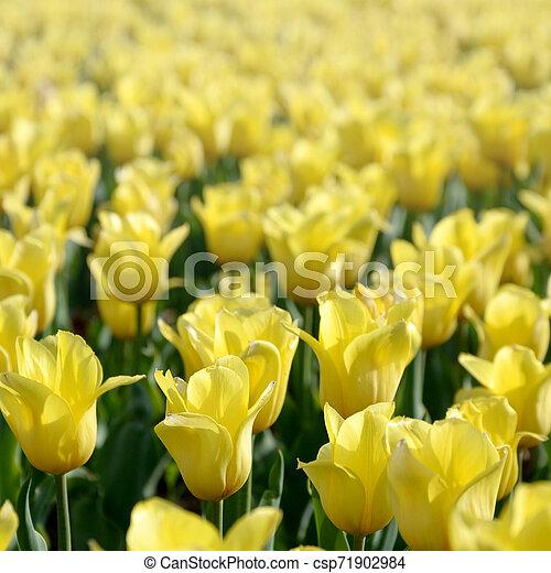 красочный, весна, желтый, тюльпан, яркий, blossoms, время - csp71902984