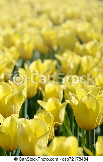 красочный, весна, желтый, тюльпан, яркий, blossoms, время - csp72178484