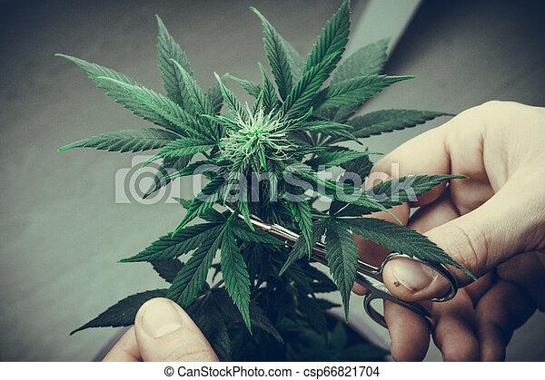 Indoor марихуана употребление и хранение марихуаны