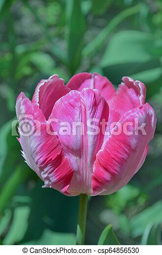розовый, тюльпан, кумба, попугай - csp64856530
