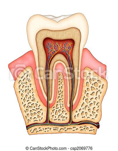 אנטומיה, של השיניים - csp2069776