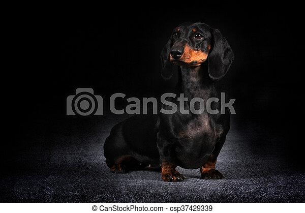 בלתי רגיל גרמני, שיער, כלב, תחש. גרמני, שיער, כלב, מתבונן, יושב, תחש. LP-39