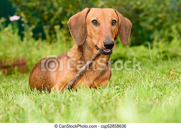 מבריק חום, גור, כלב של תחש. חום, מדשאה, גור, כלב, ירוק, קטן, דשא, תחש. MI-23