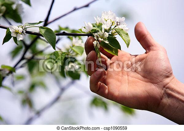 עץ, תפוח עץ, פרחים - csp1090559