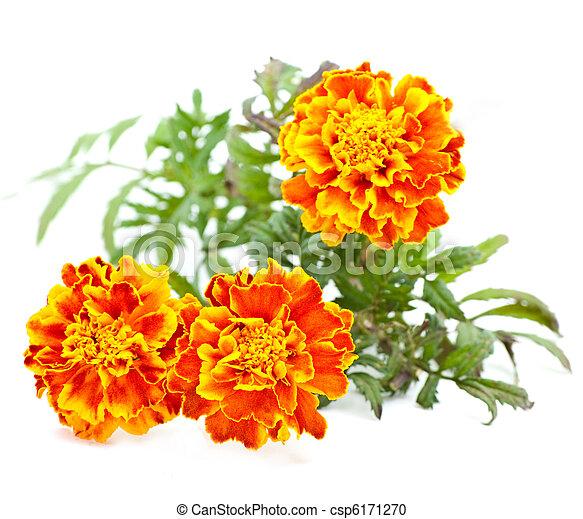 פרחים - csp6171270