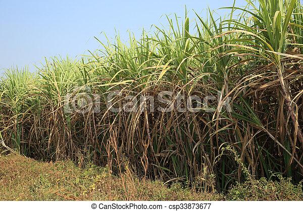 סנסציוני קנה סוכר, צמחים, שטח חקלאי, גדל. GG-49