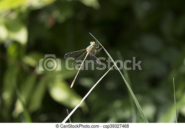 שפירית, להב, דשא - csp39327468