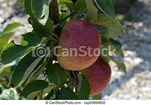תפוח עץ - csp50664802