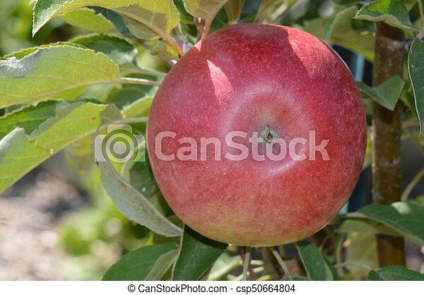 תפוח עץ - csp50664804