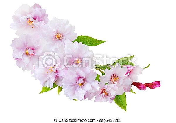 さくらんぼ, 花 - csp6433285