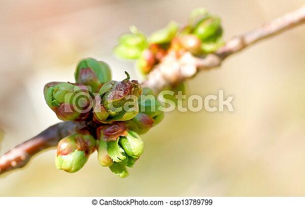 つぼみ, 桜の木 - csp13789799