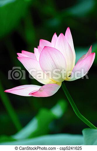 はす花, 咲く - csp5241625