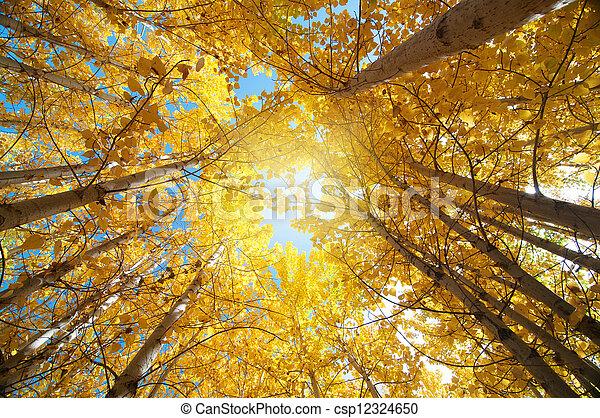 アスペン, 木, 秋 - csp12324650