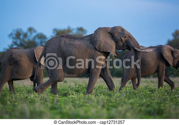 アフリカ, サファリ, 象 - csp12731257