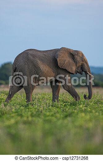 アフリカ, サファリ, 象 - csp12731268