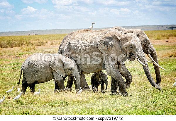アフリカ, kenya, 家族, 象 - csp37319772