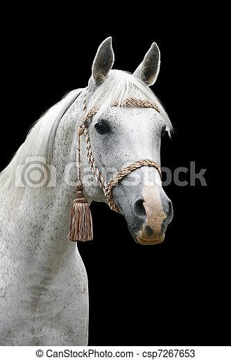 アラビア人, 白い馬, 隔離された - csp7267653