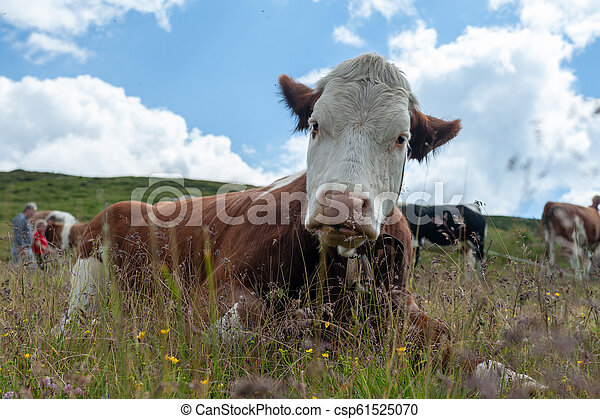 アルプス, 牛, スイス人, 白, 牧草, 赤, イタリア語 - csp61525070