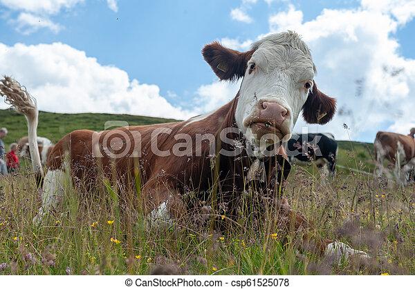 アルプス, 牛, スイス人, 白, 牧草, 赤, イタリア語 - csp61525078