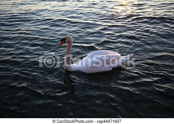 イタリア, 白鳥, garda, 湖, 白, 日没 - csp44471607