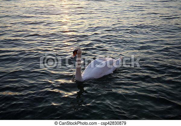 イタリア, 白鳥, garda, 湖, 白, 日没 - csp42830879