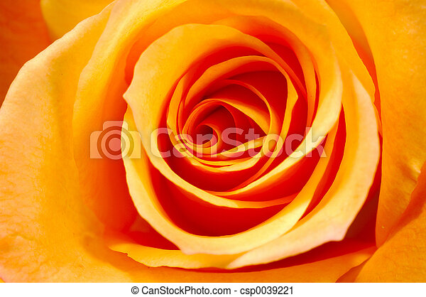 オレンジローズ, 3 - csp0039221