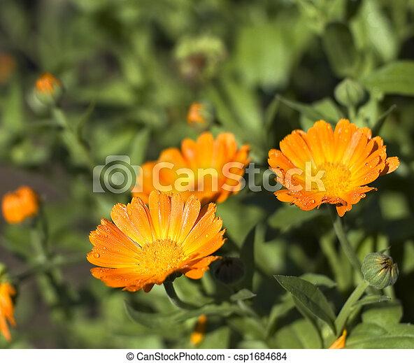 オレンジ, calendula, フィールド - csp1684684