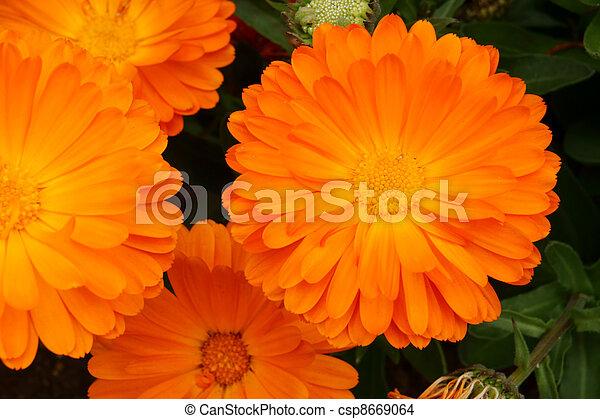 オレンジ, calendula, officinalis. - csp8669064