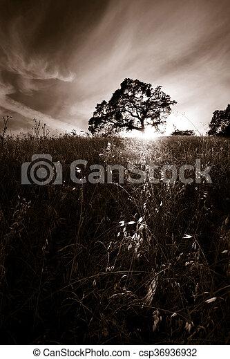 オーク・ツリー, silhouetted - csp36936932