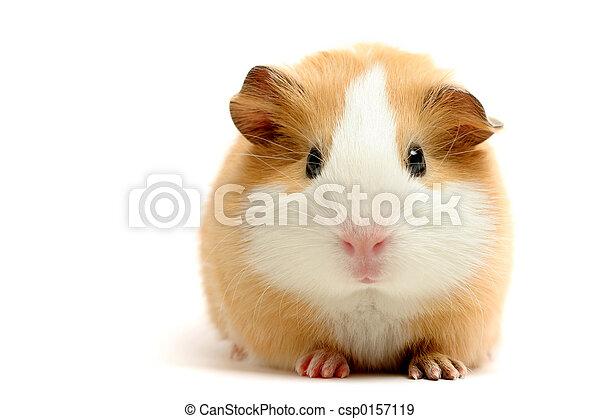 ギニー, 上に, 白, 豚 - csp0157119