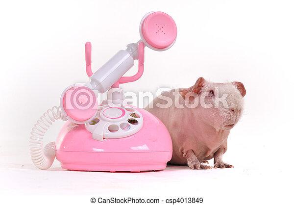 ギニー, 呼出し, 豚 - csp4013849
