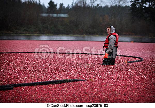 クランベリー, 収穫する - csp23675183