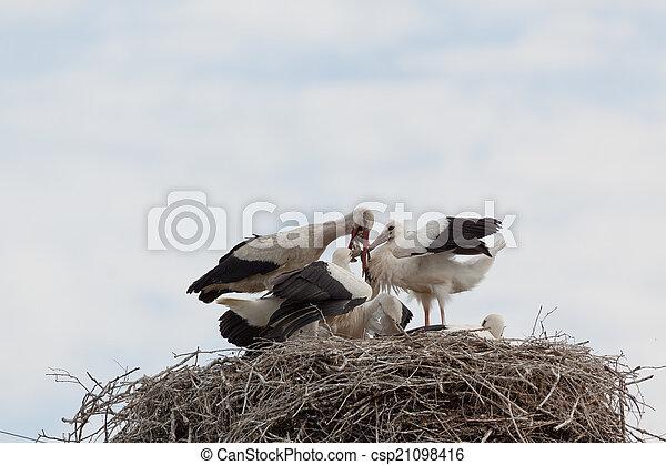 コウノトリ, 赤ん坊, 巣, 白, 鳥 - csp21098416