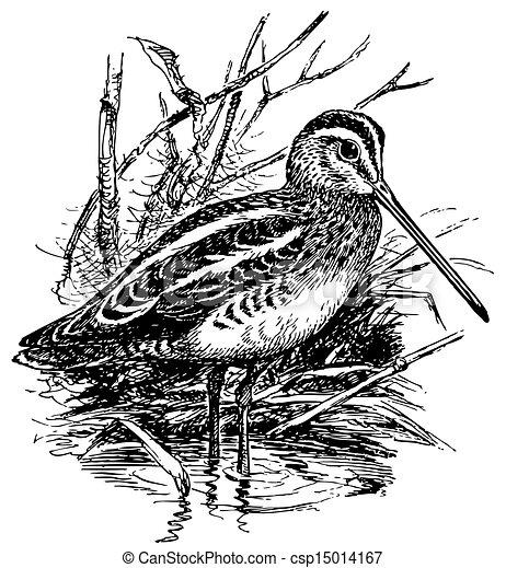 シギ, 鳥, 共通 - csp15014167