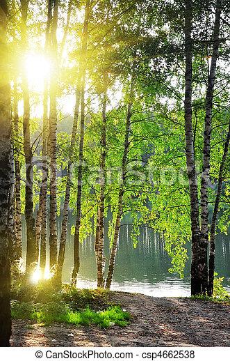 シラカバ, 森林, 夏, 木 - csp4662538
