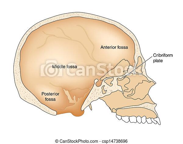 セクション, によって, 交差点, 頭骨 - csp14738696