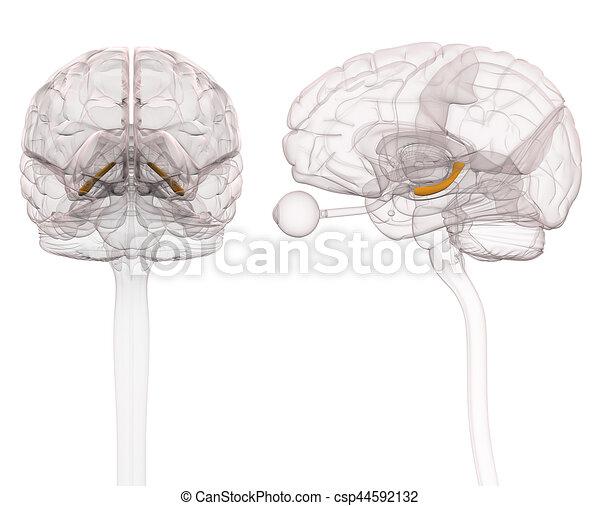 タツノオトシゴ属 イラスト 解剖学 脳 3d