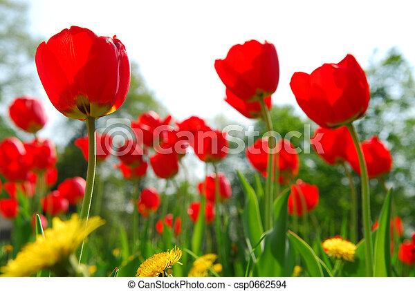 チューリップ, 花, フィールド - csp0662594