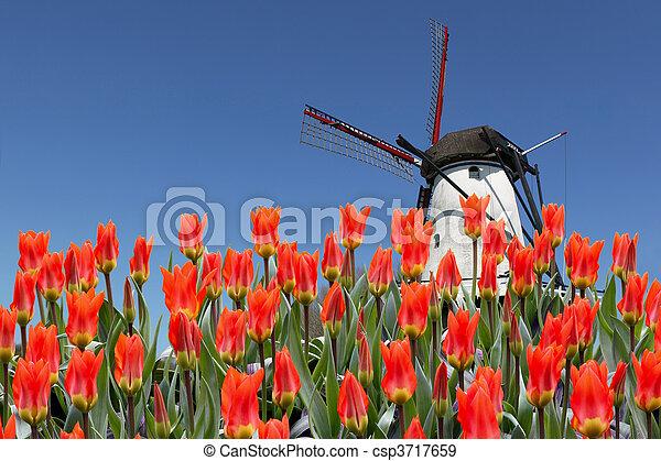 チューリップ, 製粉所, 風景, オランダ語 - csp3717659
