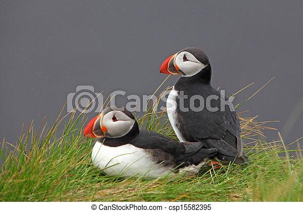 ツノメドリ, 鳥 - csp15582395