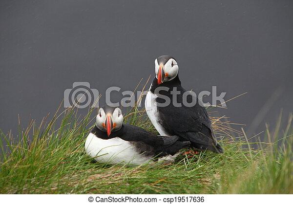 ツノメドリ, 鳥 - csp19517636